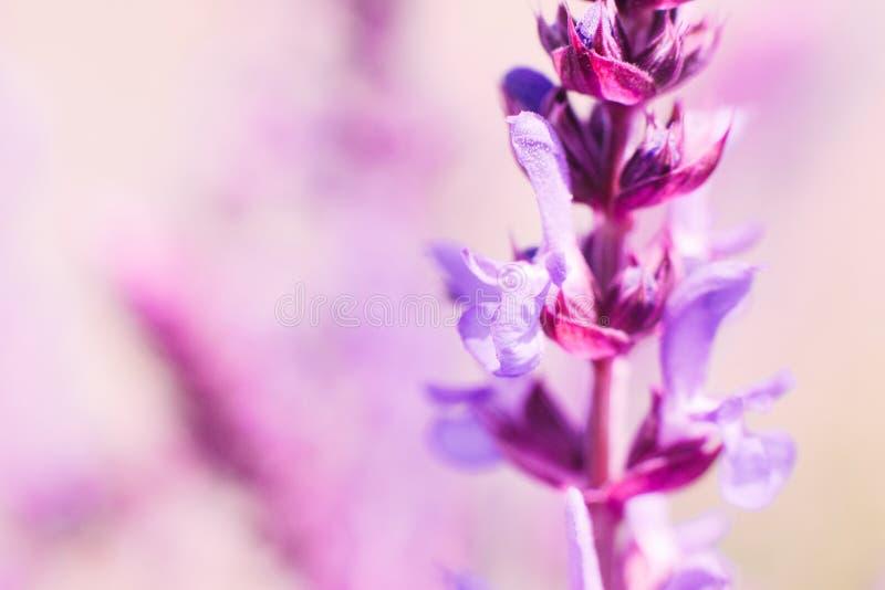 Fondo romántico con el flor sabio rosado imagen de archivo libre de regalías