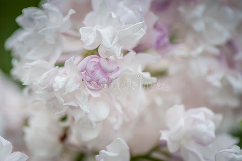 Fondo rosa-chiaro dai fiori del lillà Bandiera dei fiori Background fotografie stock libere da diritti