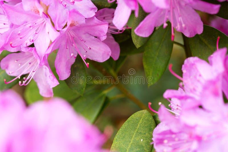 Fondo rosa dei fiori delle azalee fotografie stock libere da diritti