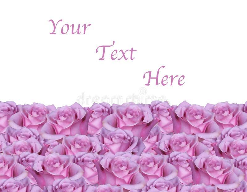 Fondo rosado aislado de Rose foto de archivo