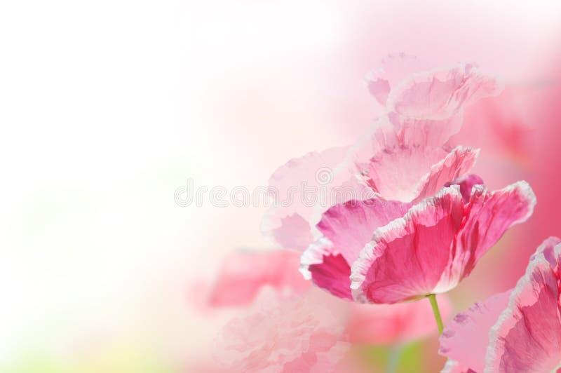 Fondo rosado de la amapola fotos de archivo libres de regalías