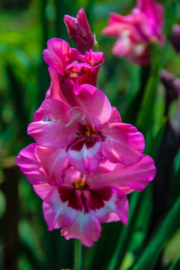 Fondo rosado de la flor del gladiola foto de archivo libre de regalías