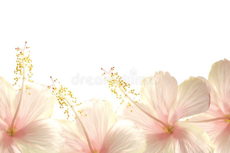 Fondo rosado de la frontera de la flor del hibisco de la luz del sol foto de archivo