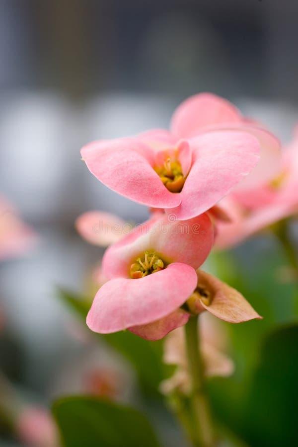 Fondo rosado de la macro de las flores fotos de archivo libres de regalías