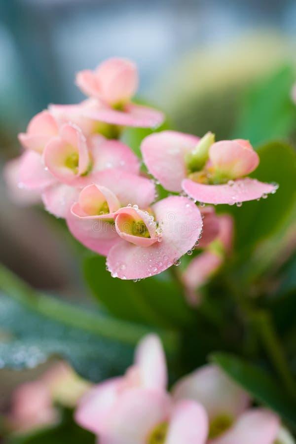Fondo rosado de la macro de las flores fotografía de archivo