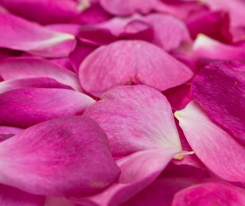 fondo rosado de los pétalos de Rose fotografía de archivo libre de regalías