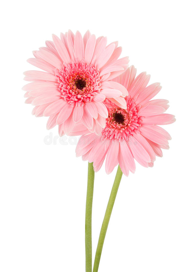 Fondo rosado del blanco de la flor del Gerbera fotografía de archivo