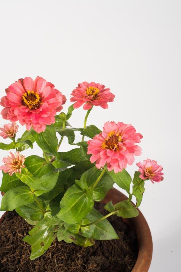 Fondo rosado del blanco de las flores del Zinnia foto de archivo libre de regalías