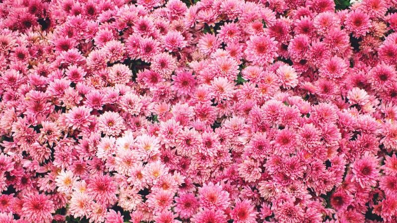 Fondo rosado del crisantemo Flores rosadas hermosas del crisantemo en jardín del verano imagen de archivo