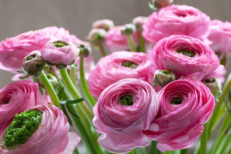 Fondo rosado del ramo del ranúnculo Macro Primer Para la entrega colorida de la tarjeta o de la flor de felicitación Foco selecti imágenes de archivo libres de regalías