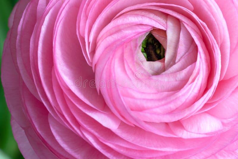 Fondo rosado del ranúnculo Macro Primer Para la entrega colorida de la tarjeta o de la flor de felicitación Foco selectivo suave fotos de archivo libres de regalías