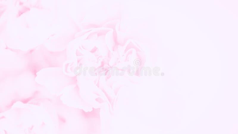 Fondo rosado delicado de las flores de los claveles Flor en colores pastel suave formato panor?mico del 16:9 Copie el espacio foto de archivo libre de regalías