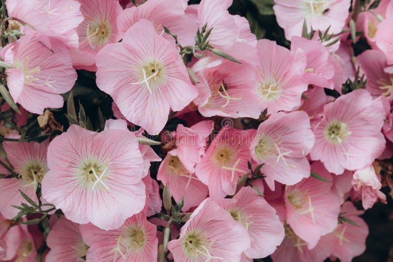 Fondo rosado en colores pastel de las flores fotografía de archivo libre de regalías