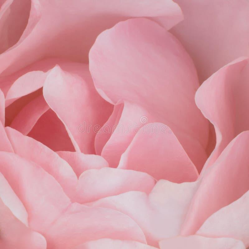 Fondo rosado: Rose Stock Photos imágenes de archivo libres de regalías