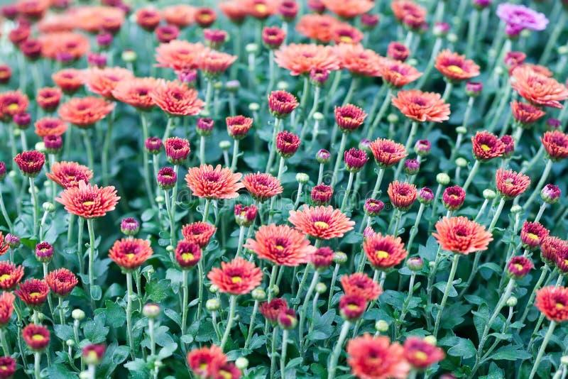 Fondo rosso del giacimento di fiori del crisantemo Natura morta floreale con molte mummie variopinte Foglie verdi e gialle su un  fotografia stock libera da diritti