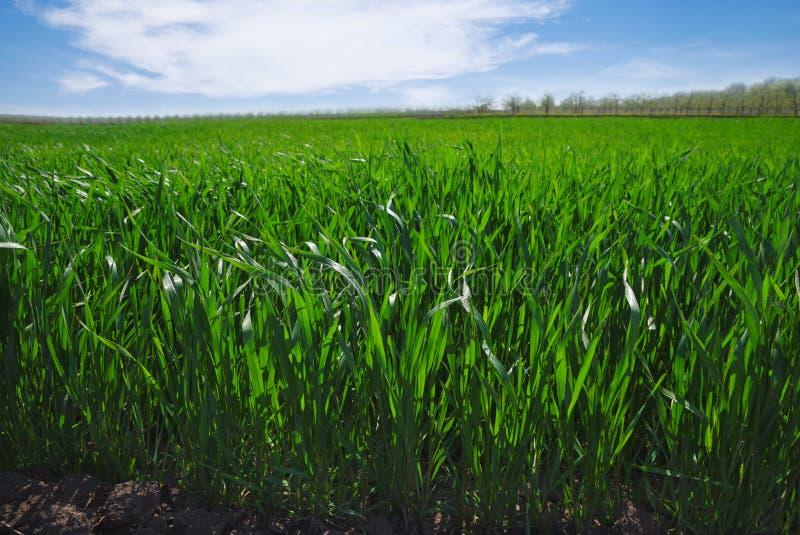 Fondo rurale agricolo Vista panoramica al paesaggio della molla nel giorno soleggiato con un campo delle piantine verdi del frume fotografia stock libera da diritti