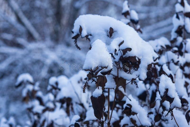 Fondo ruso del extracto del invierno con el arbusto en la nieve, foco selectivo fotos de archivo libres de regalías