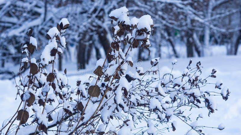 Fondo ruso del extracto del invierno con el arbusto en la nieve, foco selectivo imagenes de archivo