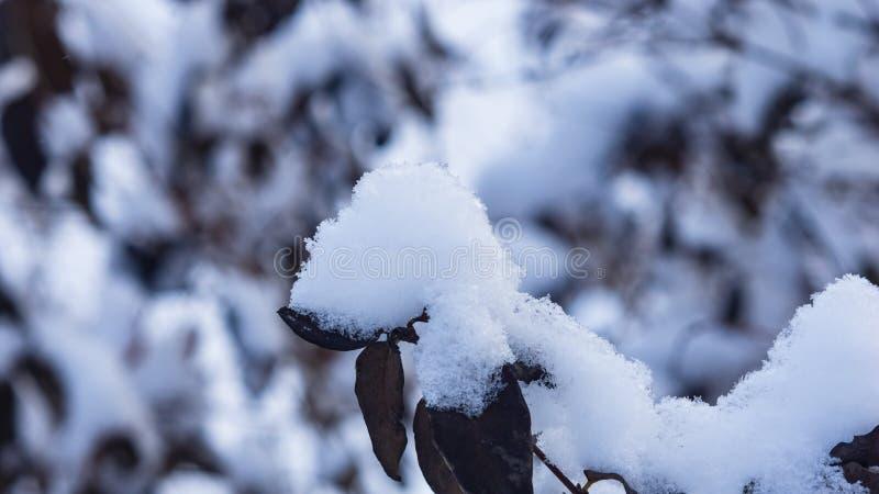 Fondo ruso del extracto del invierno con el arbusto en la nieve, foco selectivo imágenes de archivo libres de regalías