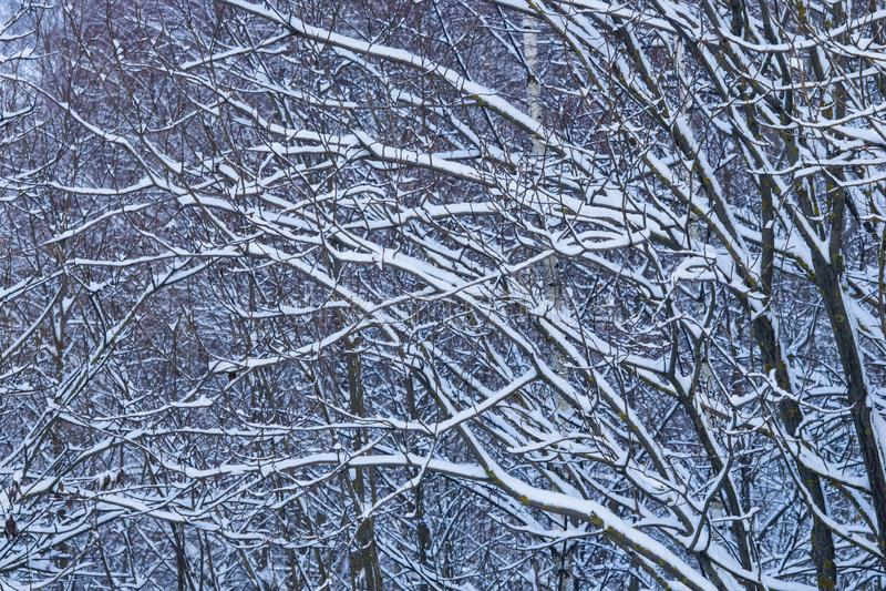 Fondo ruso del extracto del invierno con las ramas de árbol en la nieve, foco selectivo imagen de archivo libre de regalías