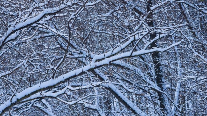 Fondo ruso del extracto del invierno con las ramas de árbol en la nieve, foco selectivo foto de archivo libre de regalías