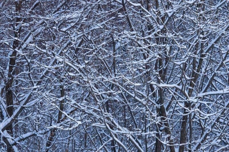 Fondo ruso del extracto del invierno con las ramas de árbol en la nieve, foco selectivo fotografía de archivo libre de regalías