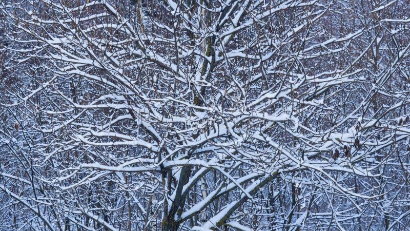 Fondo ruso del extracto del invierno con las ramas de árbol en la nieve, foco selectivo fotos de archivo libres de regalías