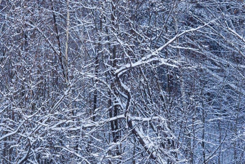 Fondo ruso del extracto del invierno con las ramas de árbol en la nieve, foco selectivo imagen de archivo