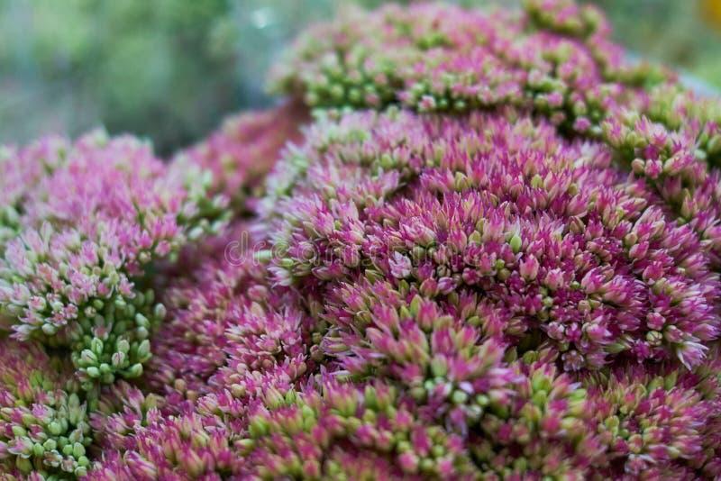 fondo sólido del pequeño fondo rosado de la naturaleza de las flores foto de archivo