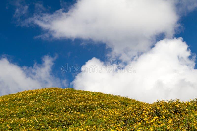 Fondo salvaje del girasol con las flores amarillas y el cielo azul nublado hermoso en Tailandia septentrional fotos de archivo libres de regalías