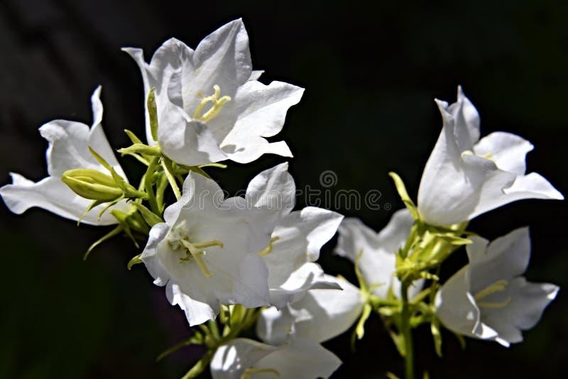 Fondo scuro della campana variopinta del fiore nello stile d'annata su fondo scuro Strutturi il fondo, il modello, carta da parat fotografia stock