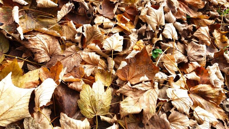 Fondo seco de las hojas de otoño en día soleado fotografía de archivo