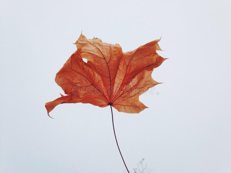 Fondo seco rojo del blanco de la hoja del otoño imagen de archivo