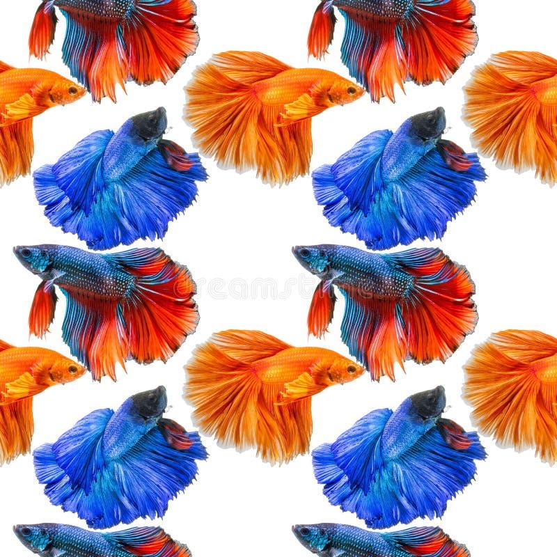 Fondo senza cuciture del modello del pesce siamese di combattimento immagini stock libere da diritti