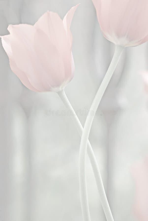 Fondo silenciado rosado del tulipán #8 fotos de archivo