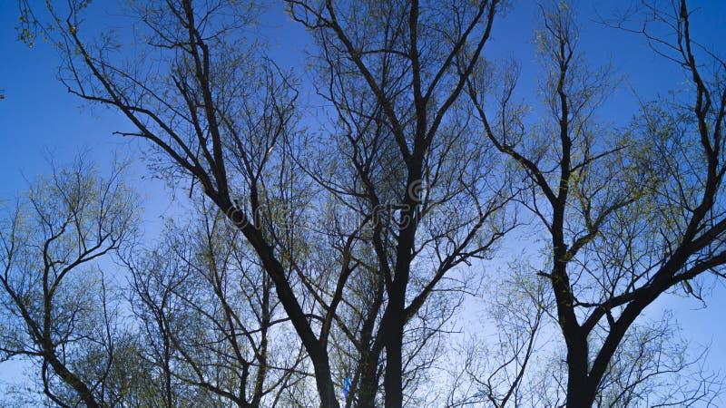 Fondo, siluetta di un albero ramificato contro un cielo blu in primavera immagine stock libera da diritti