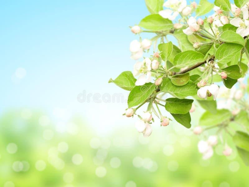 Fondo soleado abstracto de la primavera de la falta de definición con las flores de la manzana foto de archivo libre de regalías