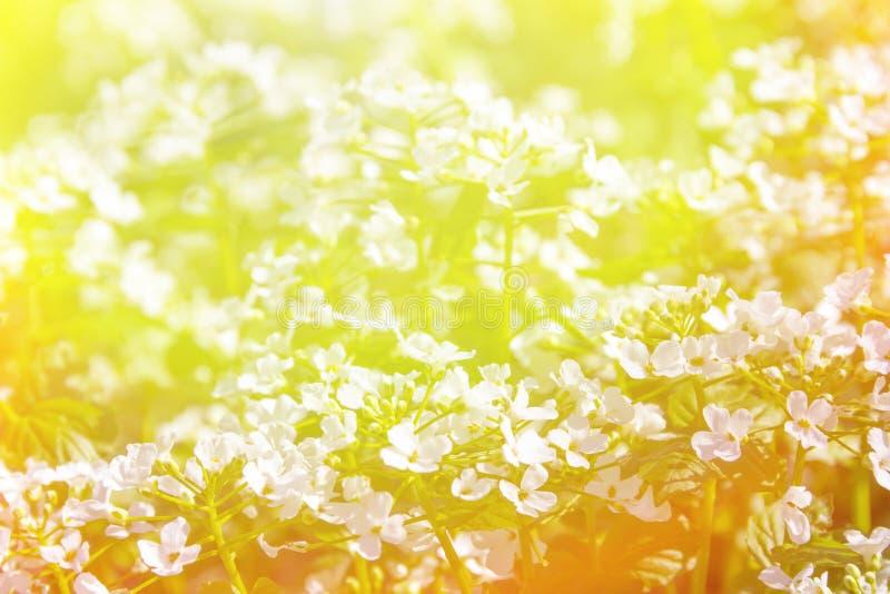Fondo soleado con las pequeñas flores salvajes blancas en luz del sol brillante imagenes de archivo