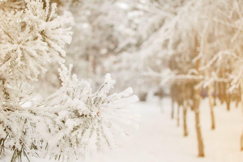 Fondo soleado del árbol de pino del invierno Foto del primer Las ramas cubrieron nieve Estacional concepto del invierno de Christ foto de archivo