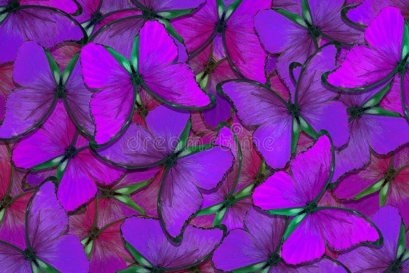 Fondo strutturale naturale porpora molle Ali di una farfalla Morpho Volo del fondo astratto delle farfalle luminose fotografia stock libera da diritti