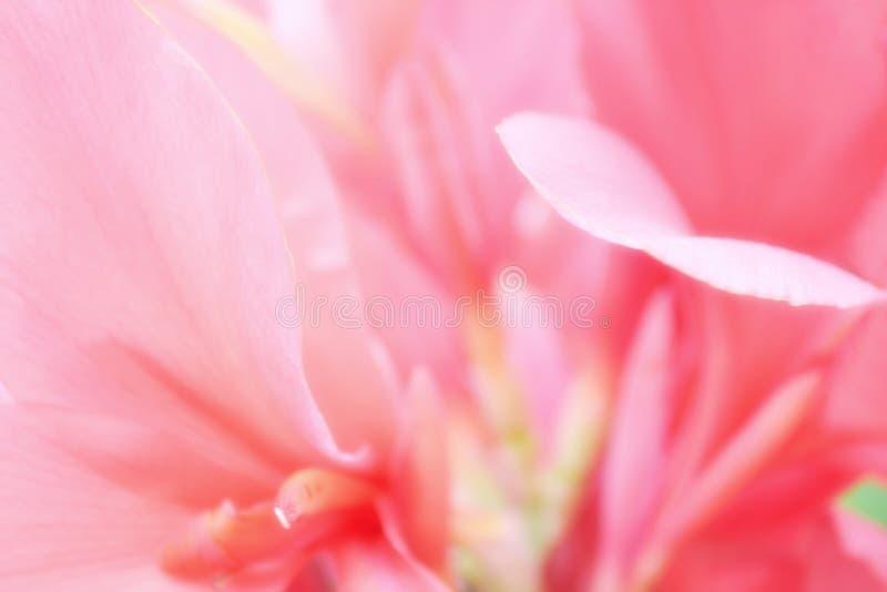 Fondo suave de la flor del rosa del foco imagen de archivo
