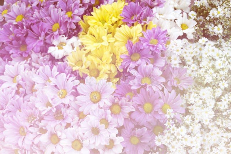 Fondo suave del extracto del estilo de la flor púrpura amarilla blanca del crisantemo foto de archivo libre de regalías