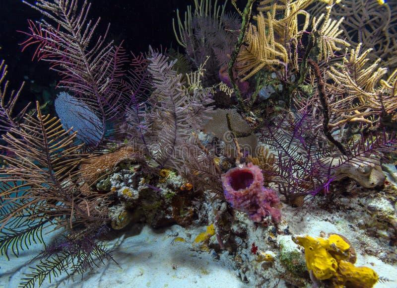 Fondo subacuático de la noche con los corales suaves y duros, Cayo Larg fotografía de archivo
