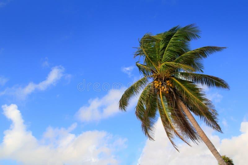 Fondo típico tropical de las palmeras del coco fotos de archivo libres de regalías