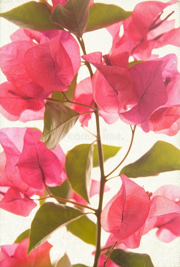 Fondo textured bougainvillea rosado del arte fotos de archivo libres de regalías