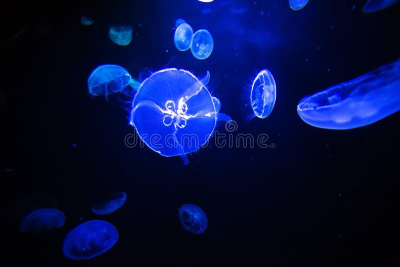 Fondo transl?cido del colordark de las medusas de la luna fotografía de archivo libre de regalías