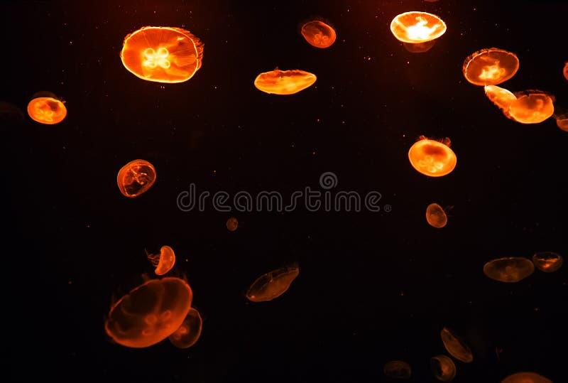 Fondo transl?cido del colordark de las medusas de la luna fotos de archivo libres de regalías