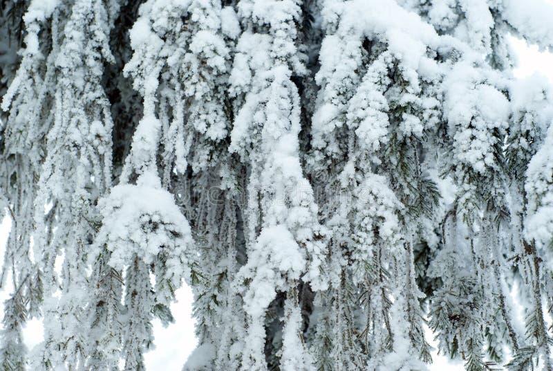 Fondo: una tenda solida dei rami viventi languidi di grande abete, coperti di neve dopo le precipitazioni nevose fotografia stock libera da diritti