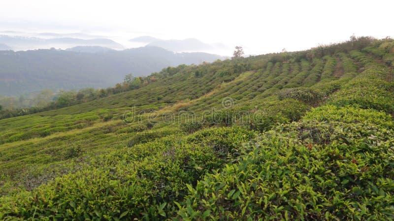 Fondo unico con le foglie di tè e la parte verdi fresche 15 della collina del tè fotografia stock libera da diritti