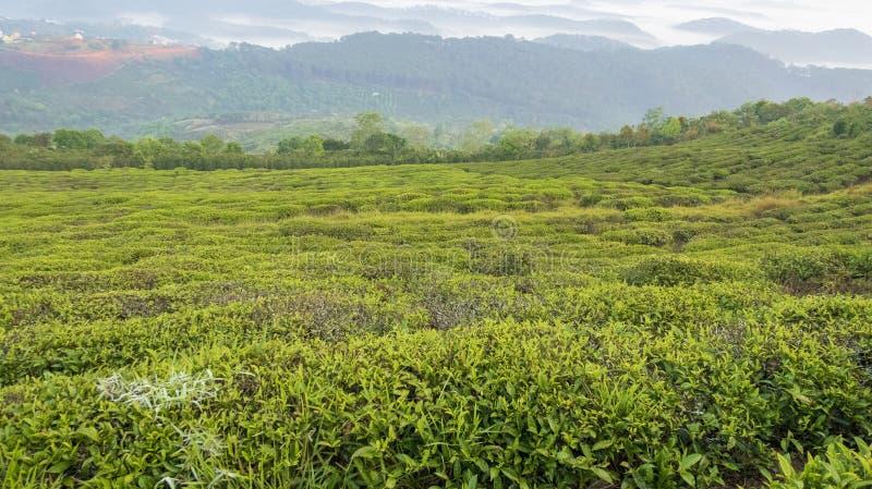 Fondo unico con le foglie di tè e la parte verdi fresche 14 della collina del tè immagine stock